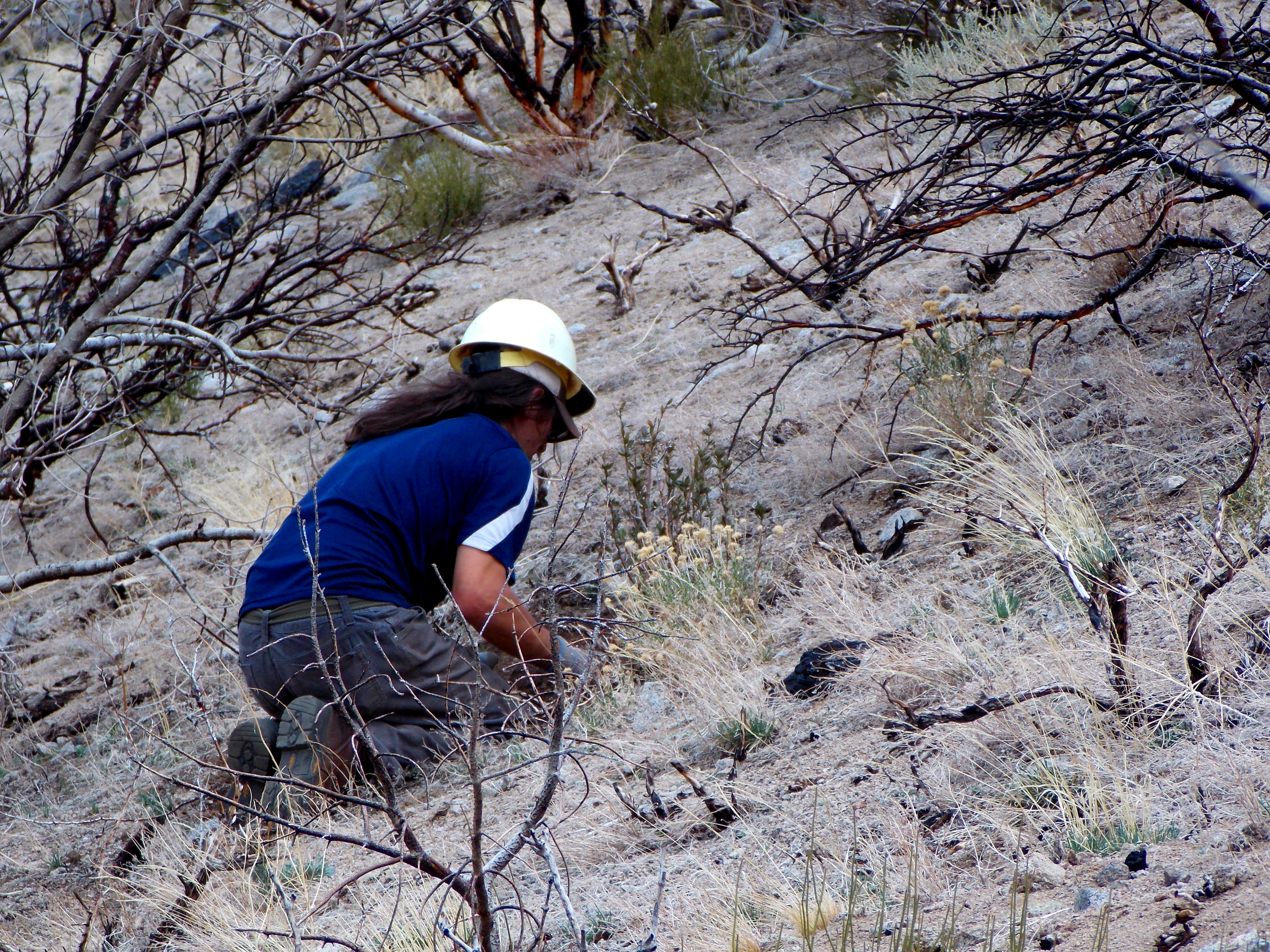 Steven Jesselson planting Mountain Mahogany.