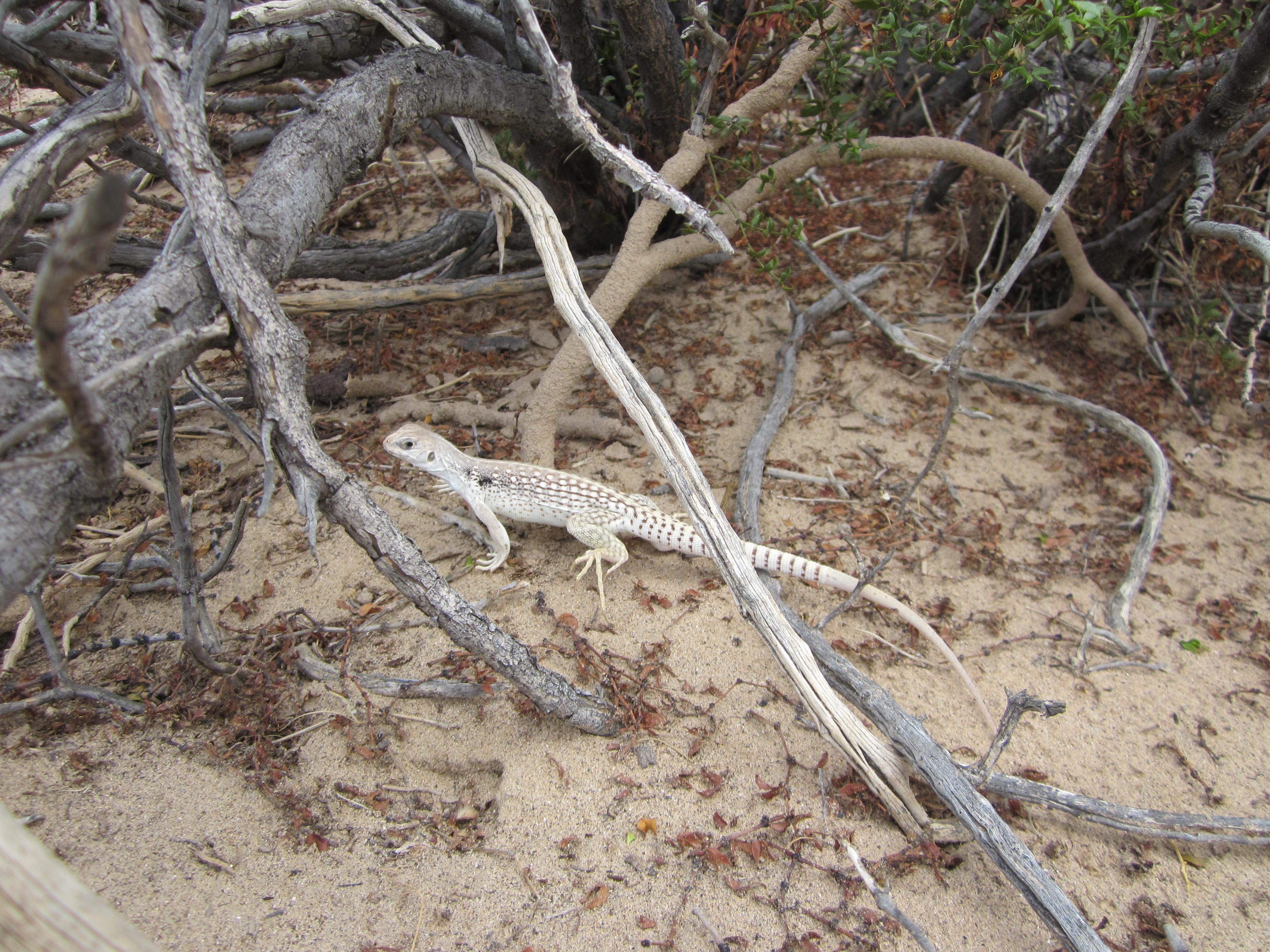Northern desert iguana.