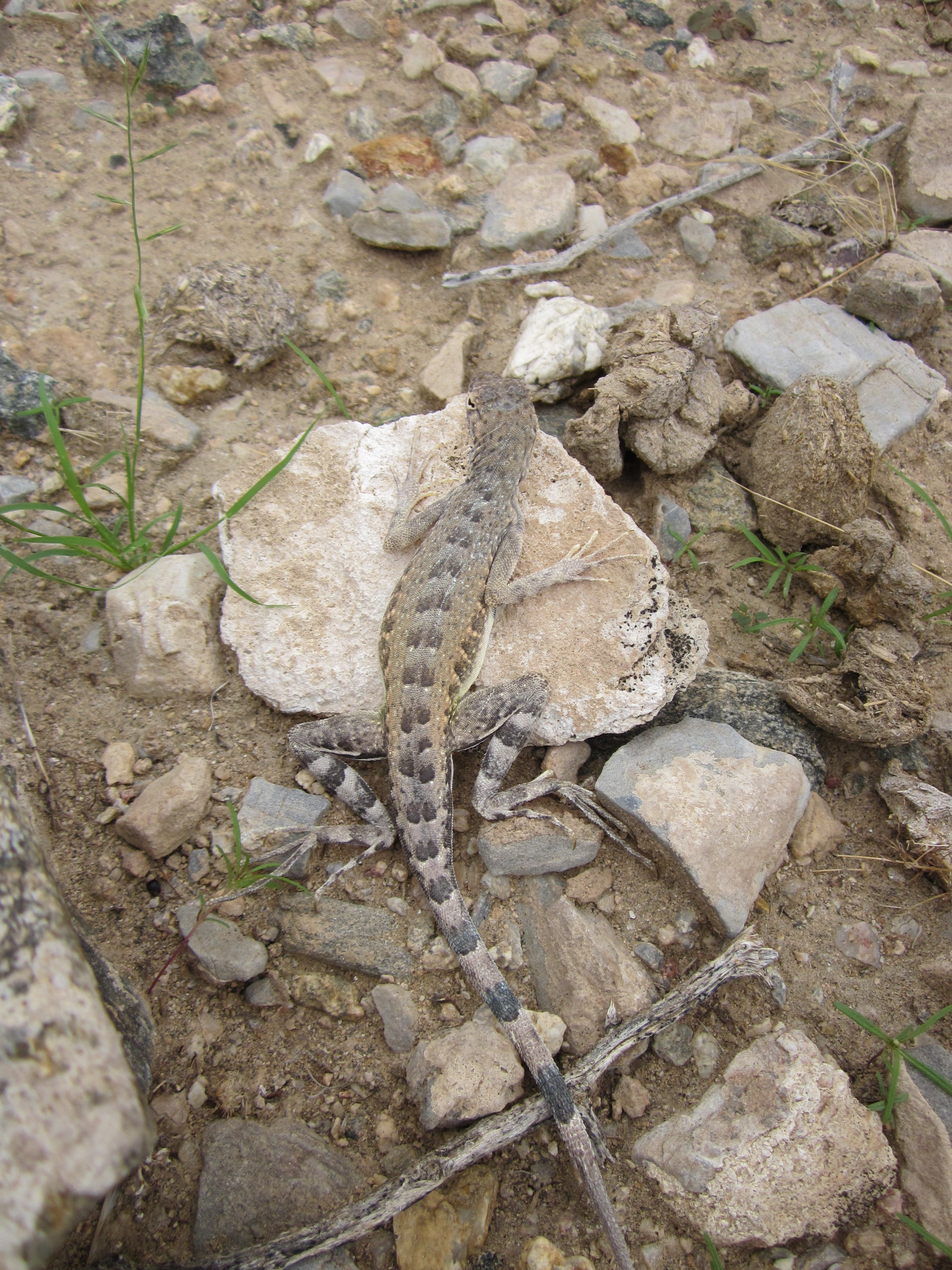 The western zebra-tailed lizard. Take a look at those great big hind feet with the long toes. Those things make this lizard very fast. A whole lot faster than me.