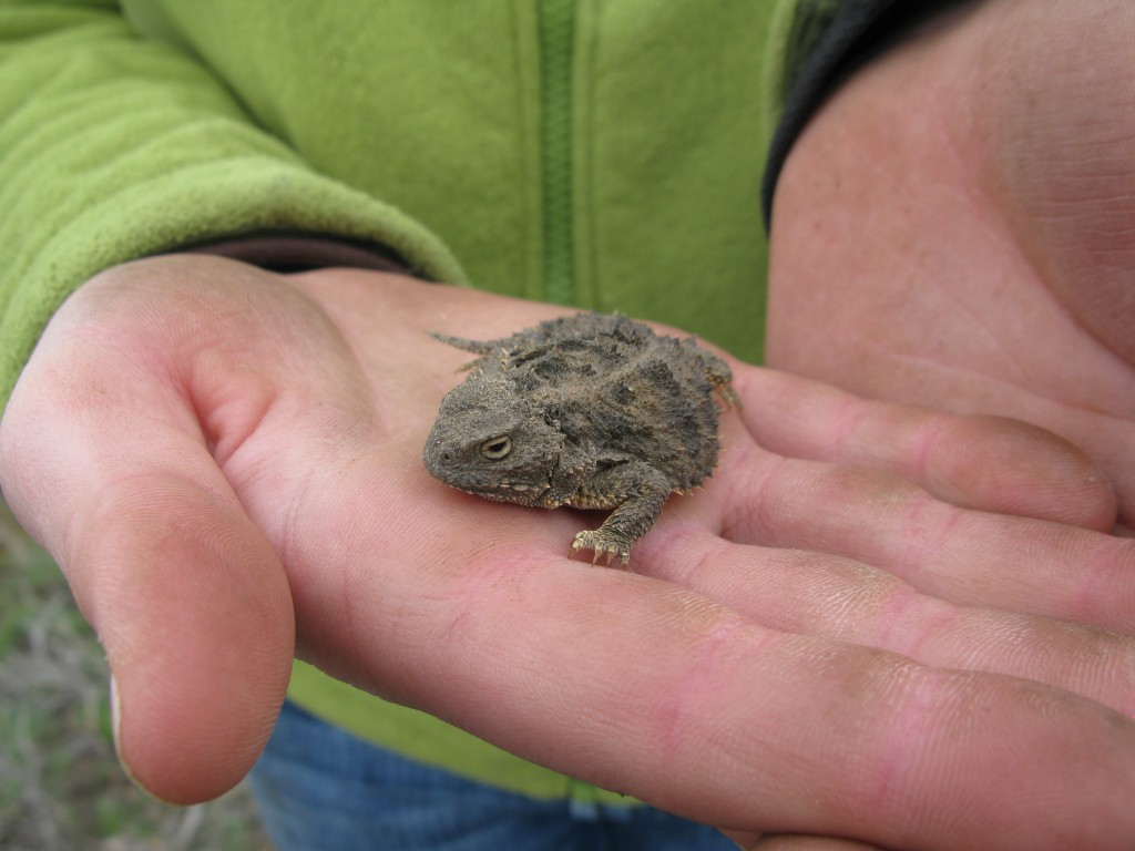 This is a horned lizard we found!!