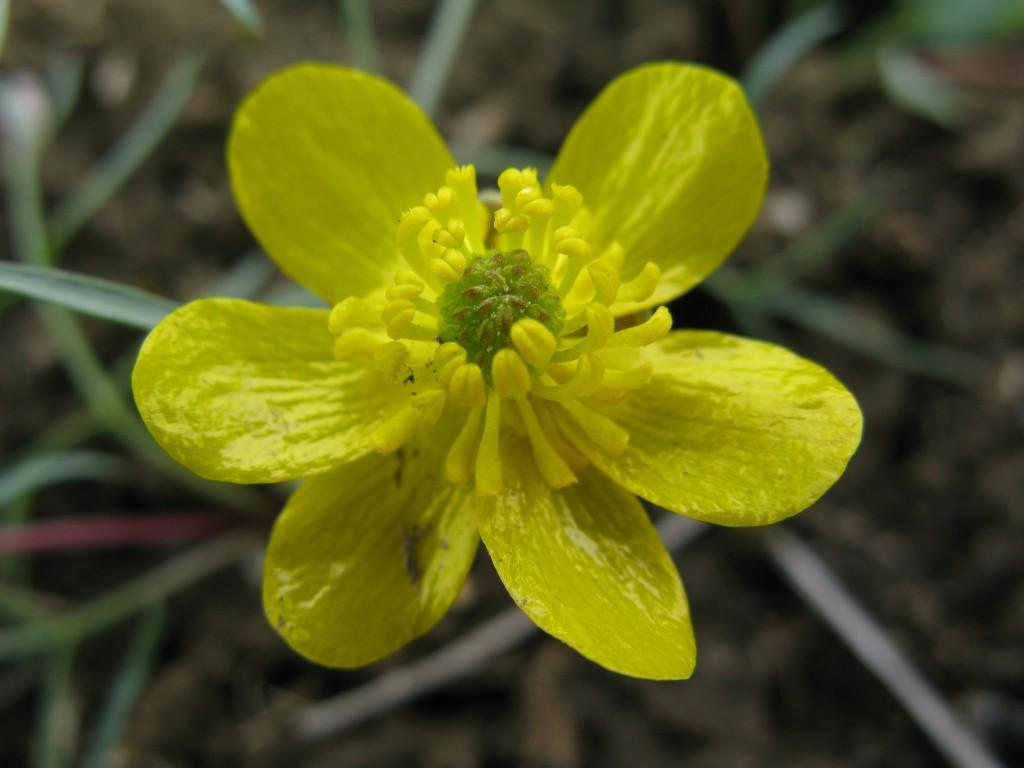 Ranunculus glaberrimus!!!