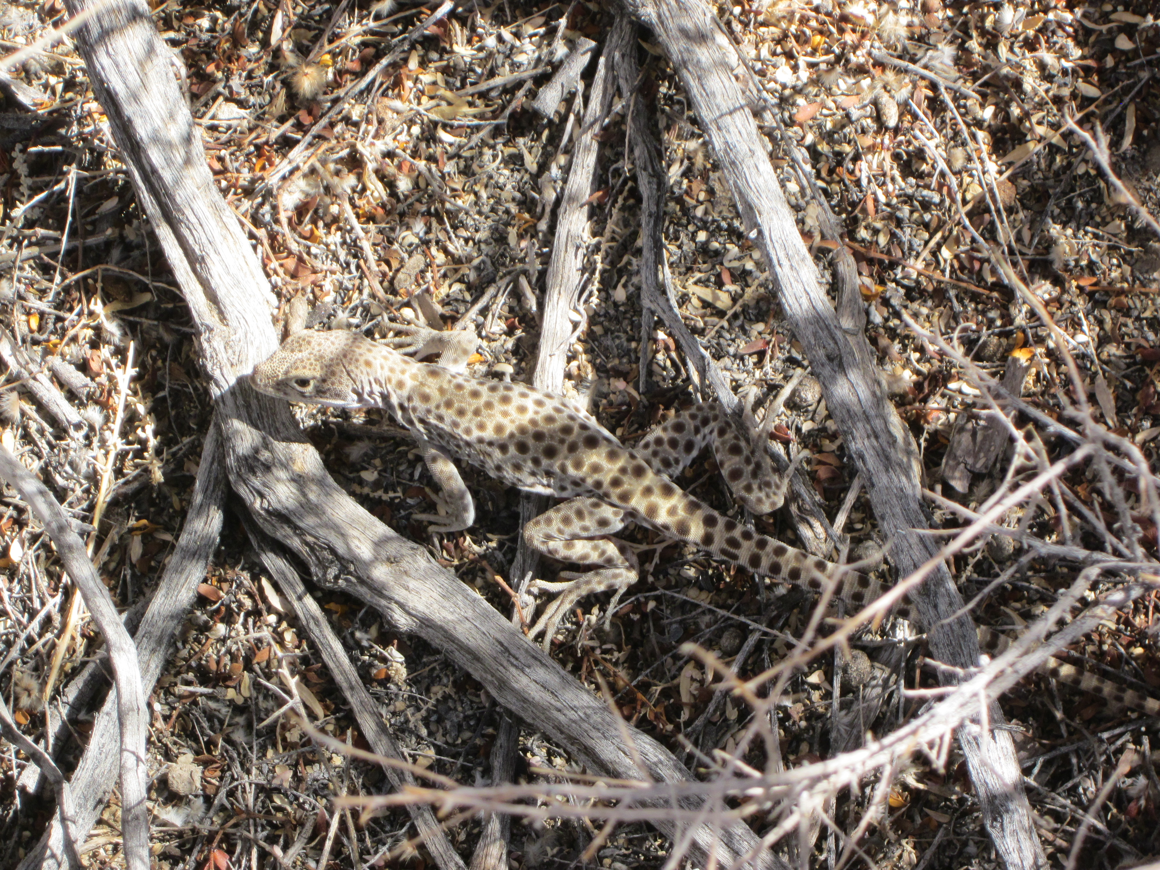 A long-nosed leopard lizard. The spots and this lizard's appetite for large prey make this lizard's name an appropriate one.