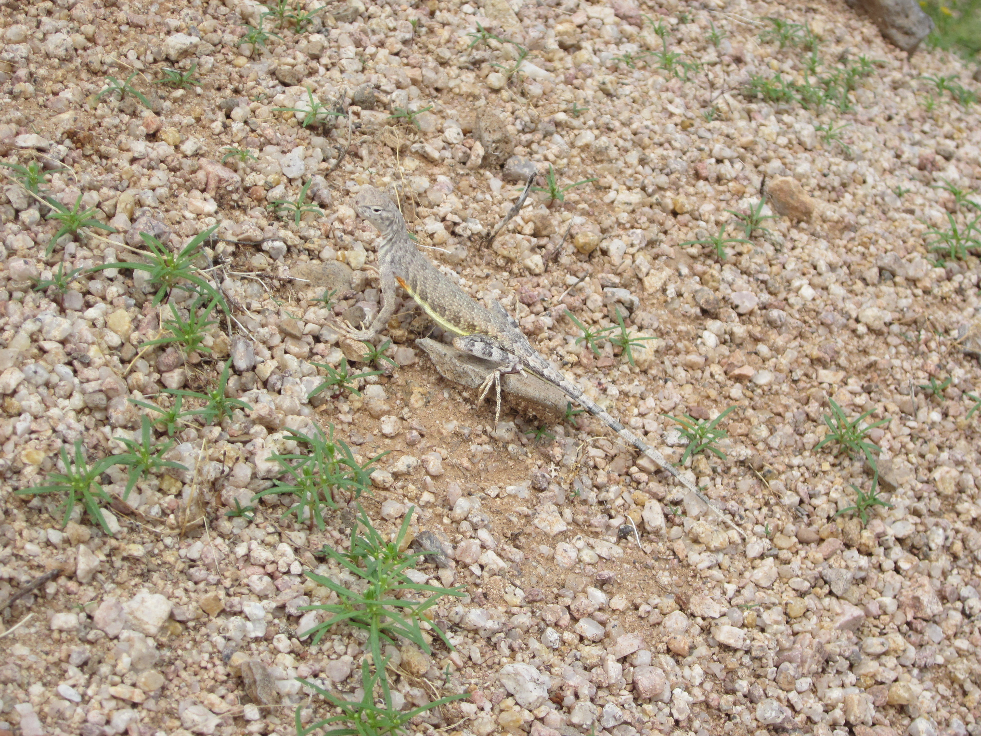 Western zebra-tailed lizard. If you look at the edge of its belly, you can see just a little bit of the brilliant colors that this lizard has underneath.