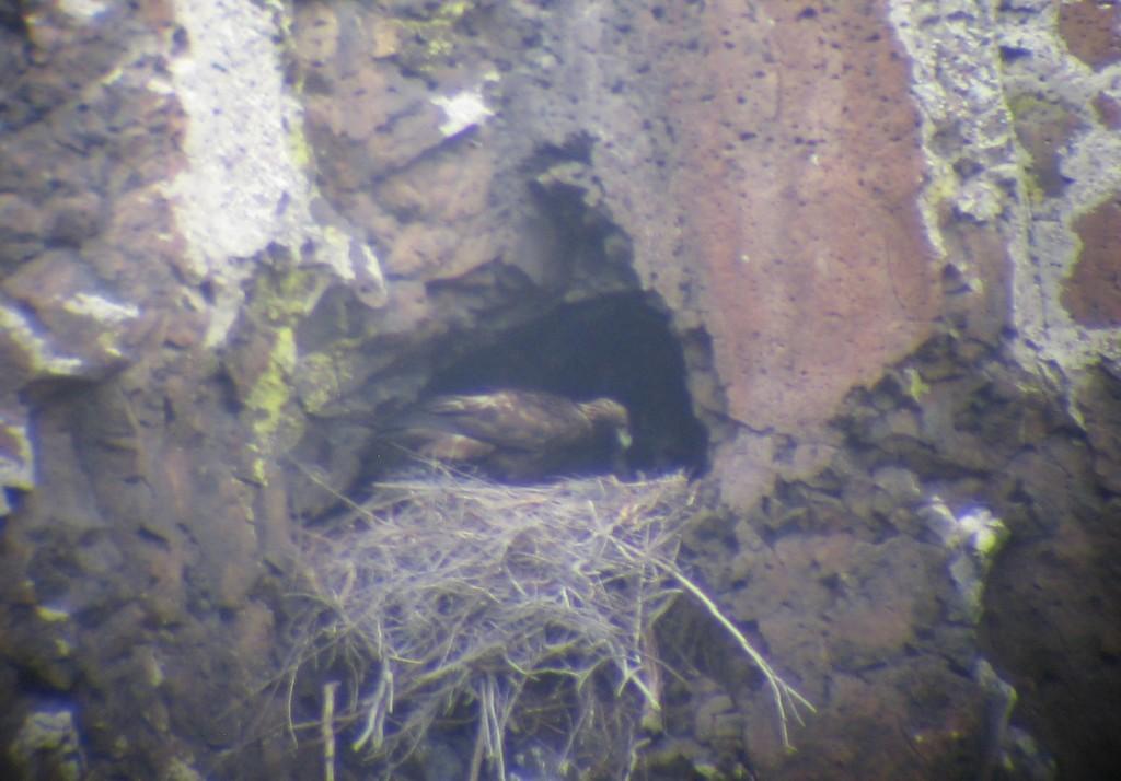 Golden eagle preparing a nest.
