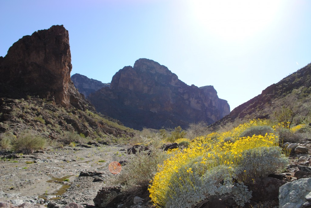 Here's what I mean about those yellow-flowering desert shrubs. These Encelia farinosa (brittlebush) turned some desert washes into rivers of golden color this spring.