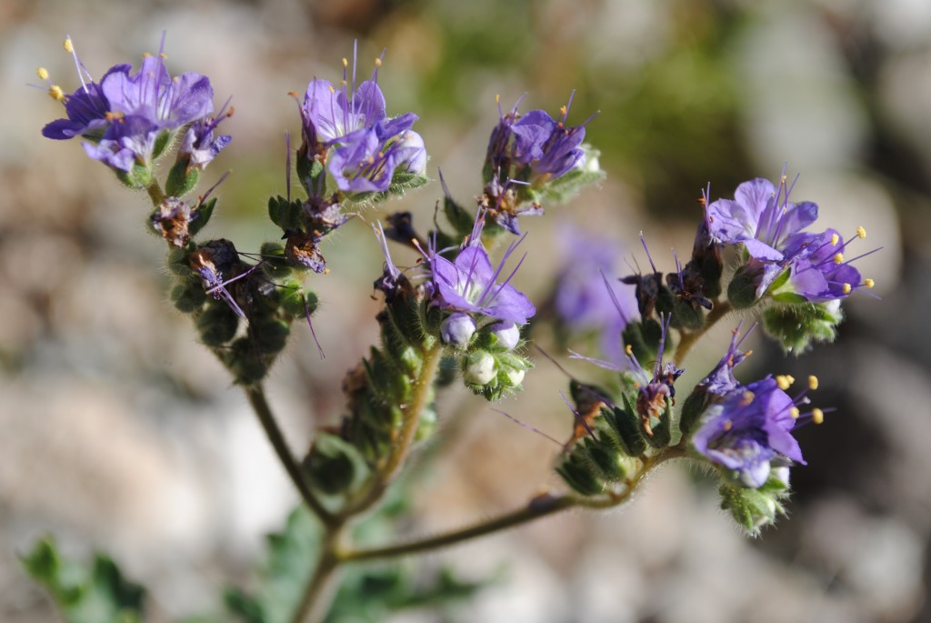 These flowers belong to a species of Phacelia, but I can't tell you which one. These plants grew all over the desert this spring, but I must confess that I didn't try too hard to identify most of them, because they are covered in little hairs that can be irritating to the touch.