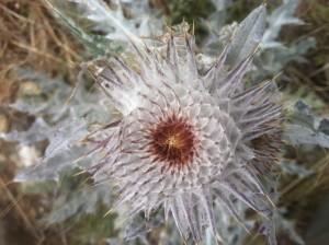 Cirsium occidentale (native)