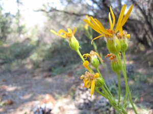 Layne's butterweed (Packera layneae), a rare aster found in Pine Hill Preserve
