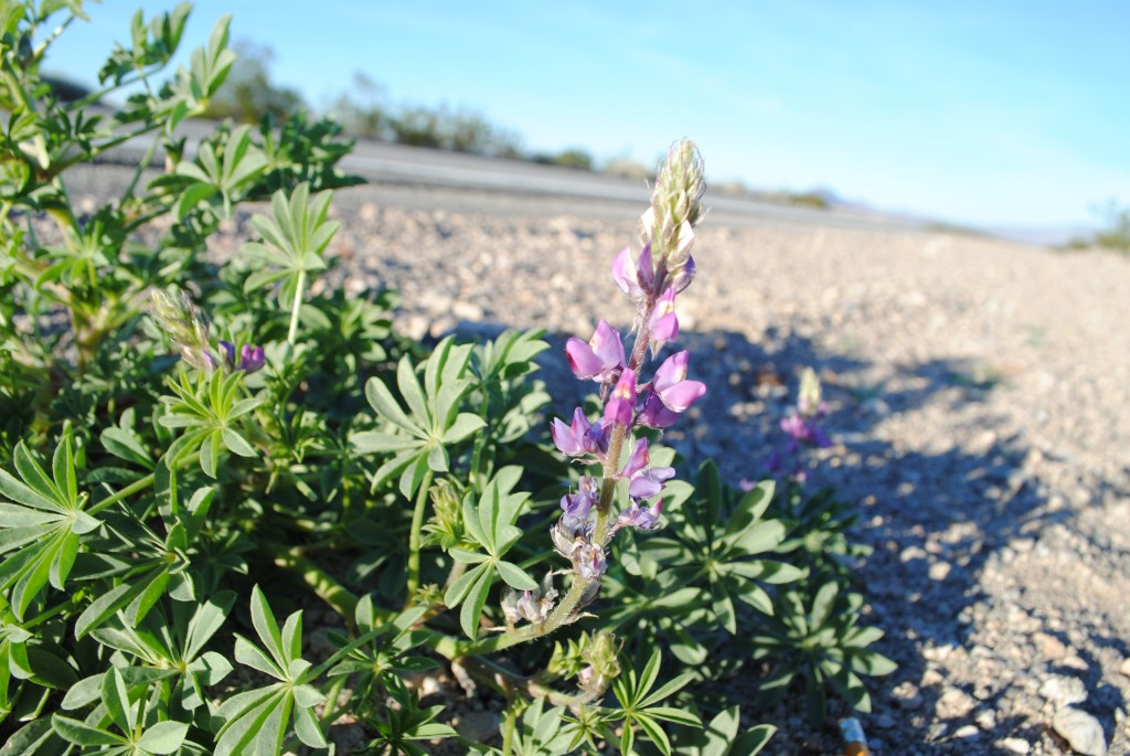 Recognize this one? There were lots of lupines that bloomed this spring, along roadsides, near washes, and all over the desert. This particular species is Lupinus arizonicus (Arizona lupine).