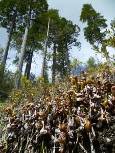 a large fen of Darlingtonia californica