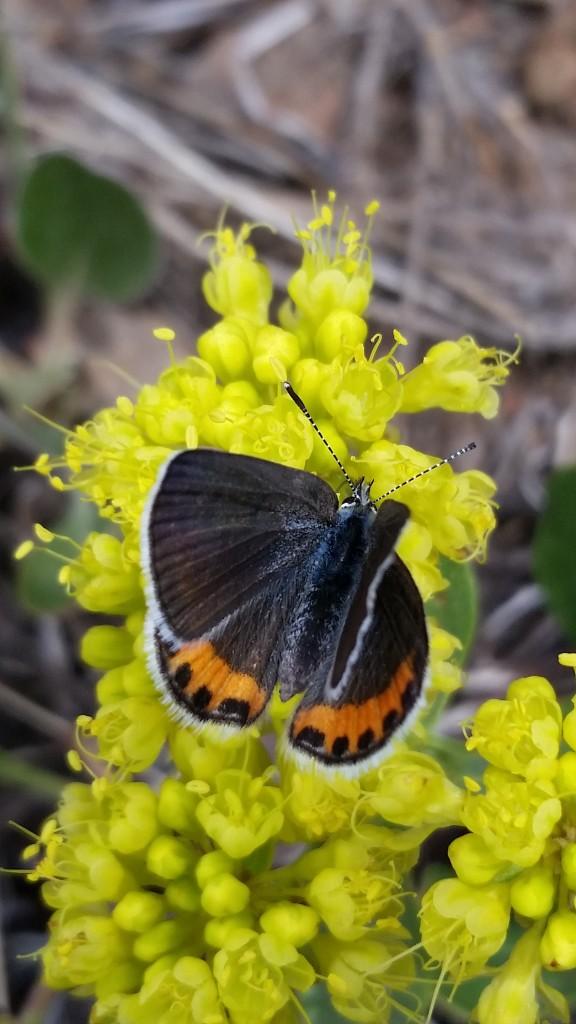 A species of Blues enjoy some Eriogonum umbellatum