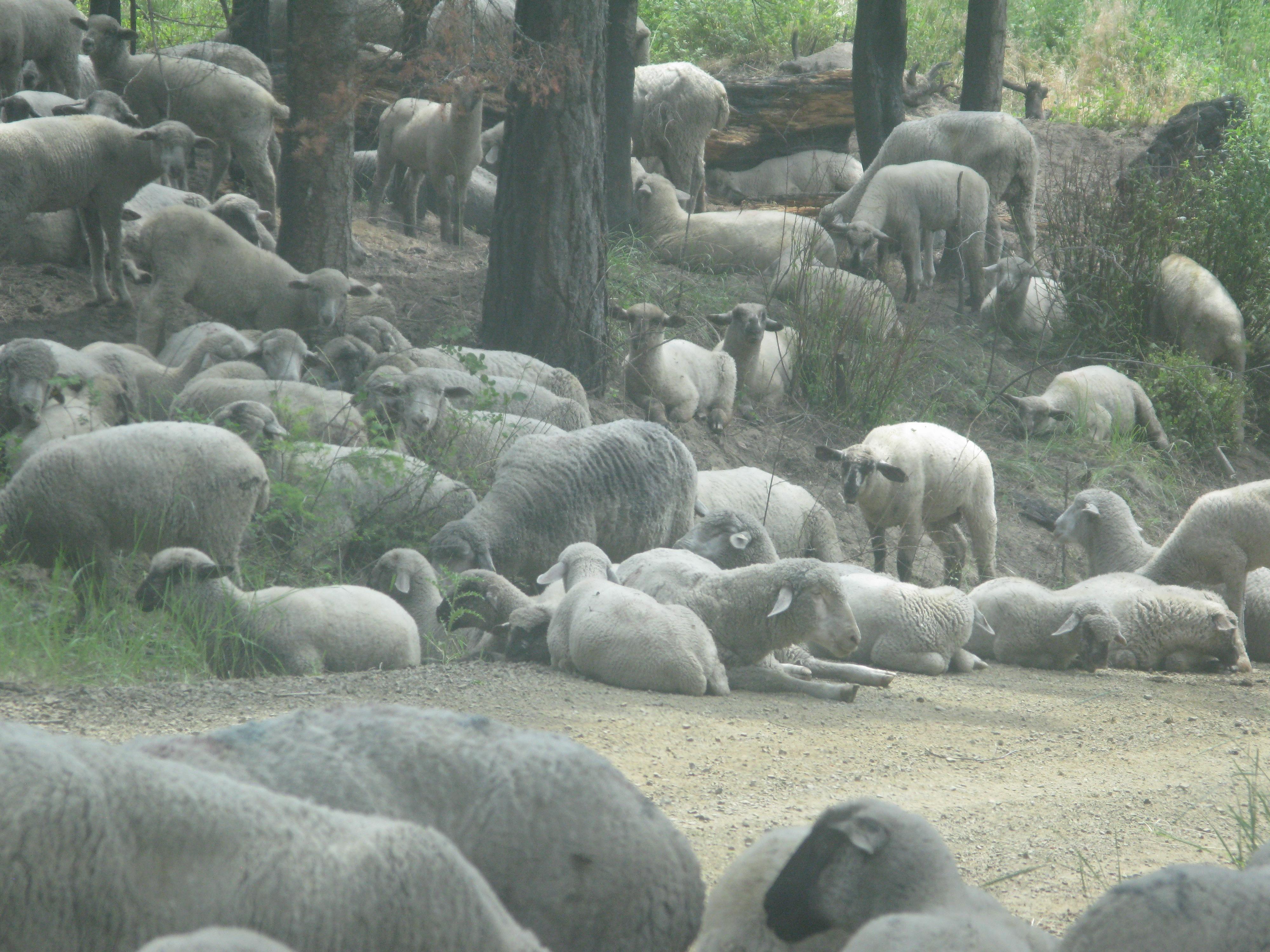 Sheep herd relaxing.
