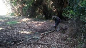 Isidro cutting eucalyptus branches.