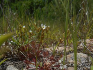 Flowing SunDew (Drosera intermedia) found while surveying at Ninigret National Wildlife Refuge.