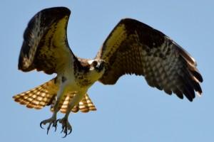 Osprey (Pandion haliaetus carolinensis), Harwich, MA