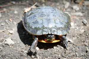 Painted turtle (Chrysemys picta), Bennett-Keenan Conservation Area, Lynnfield, MA