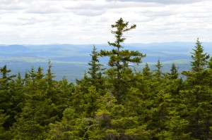 Red Spruce (Picea rubens) dominating the skyline on Monadnock Mountain, Wapack NWR, NH