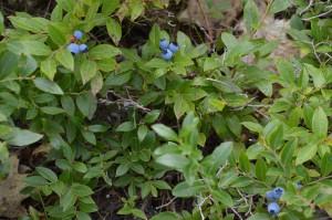 Lowbush blueberry (Vaccinium angustifolium), Wapack NWR, New Hampshire