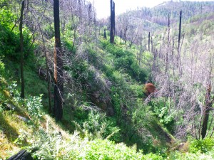A brushy drainage greening up after fire