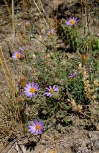 Machaeranthera bigelovii - one SOS species left to collect