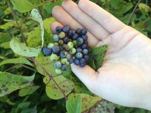 """Cornus amomum (""""silky dogwood"""") berries"""