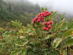 Wonderfully wet Mountain Ash. It was nice and cool on the west-side.