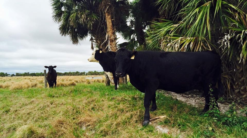 A few Florida cows hanging out under the palm trees at my friend's family ranch in Loxahatchee.