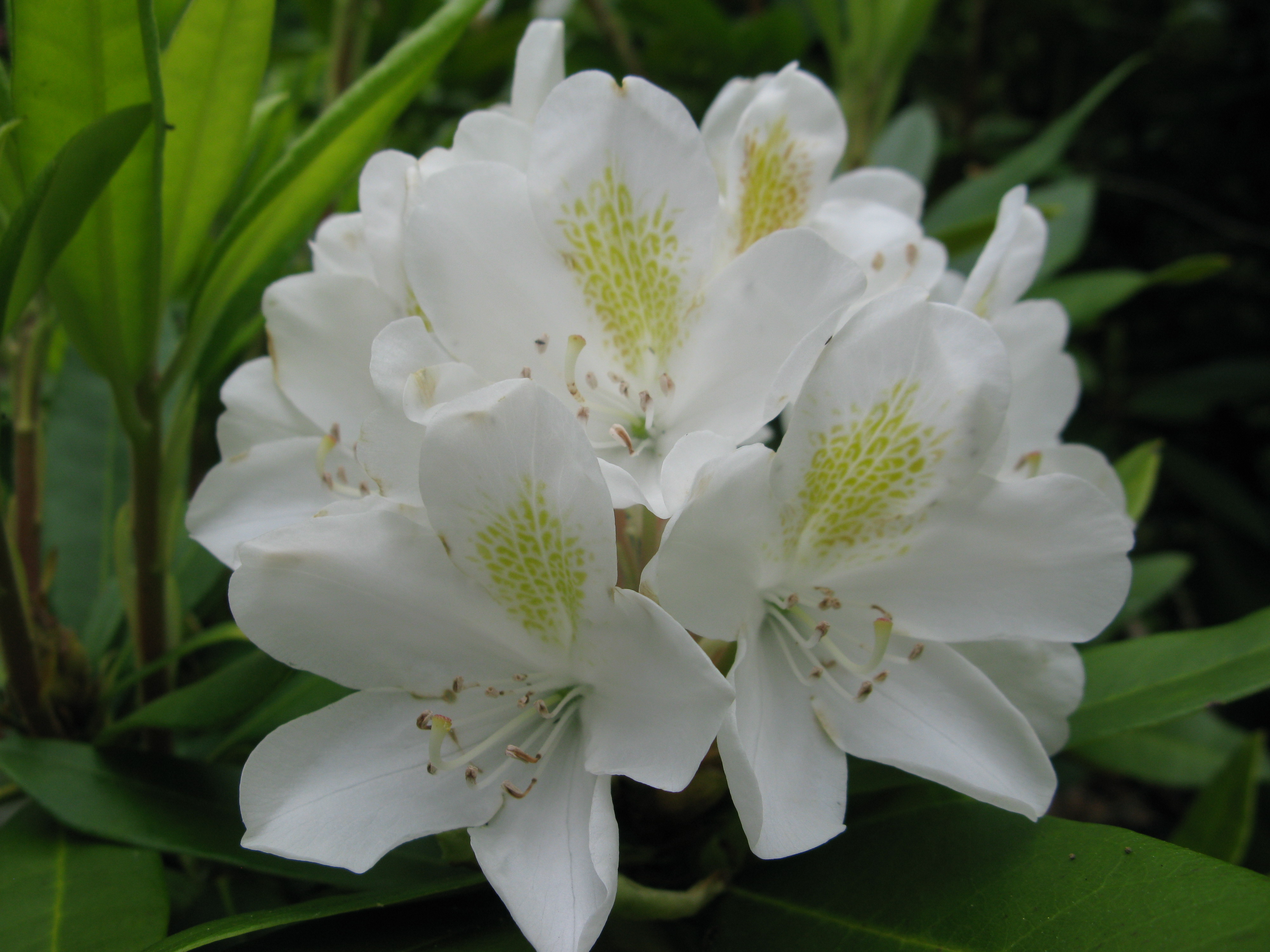 People love to grow rhododendron around the Mt. St. Helens area.