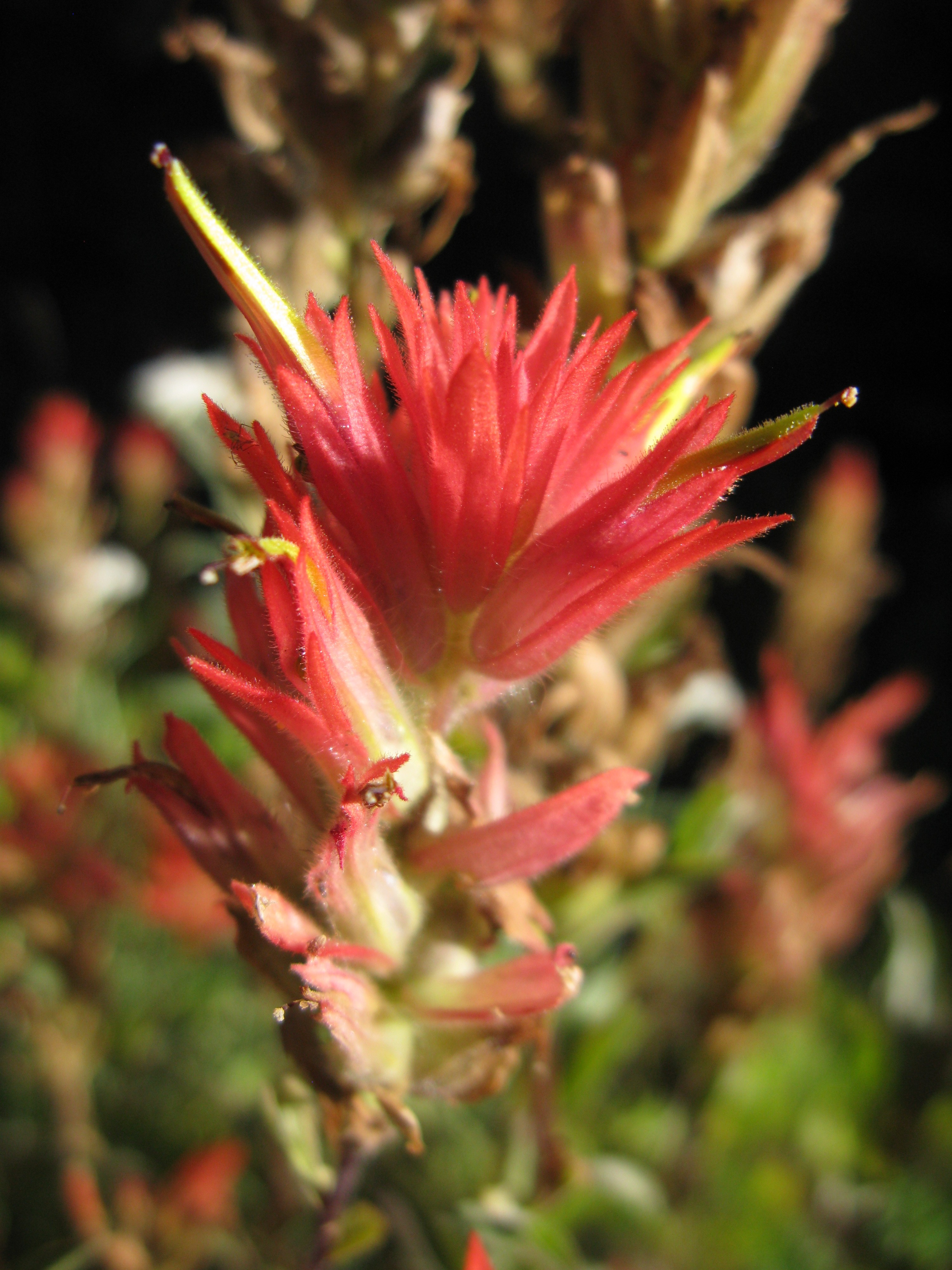 Indian paintbrush (Castilleja) are also a wildflower that grows abundantly by Mt. Rainier!