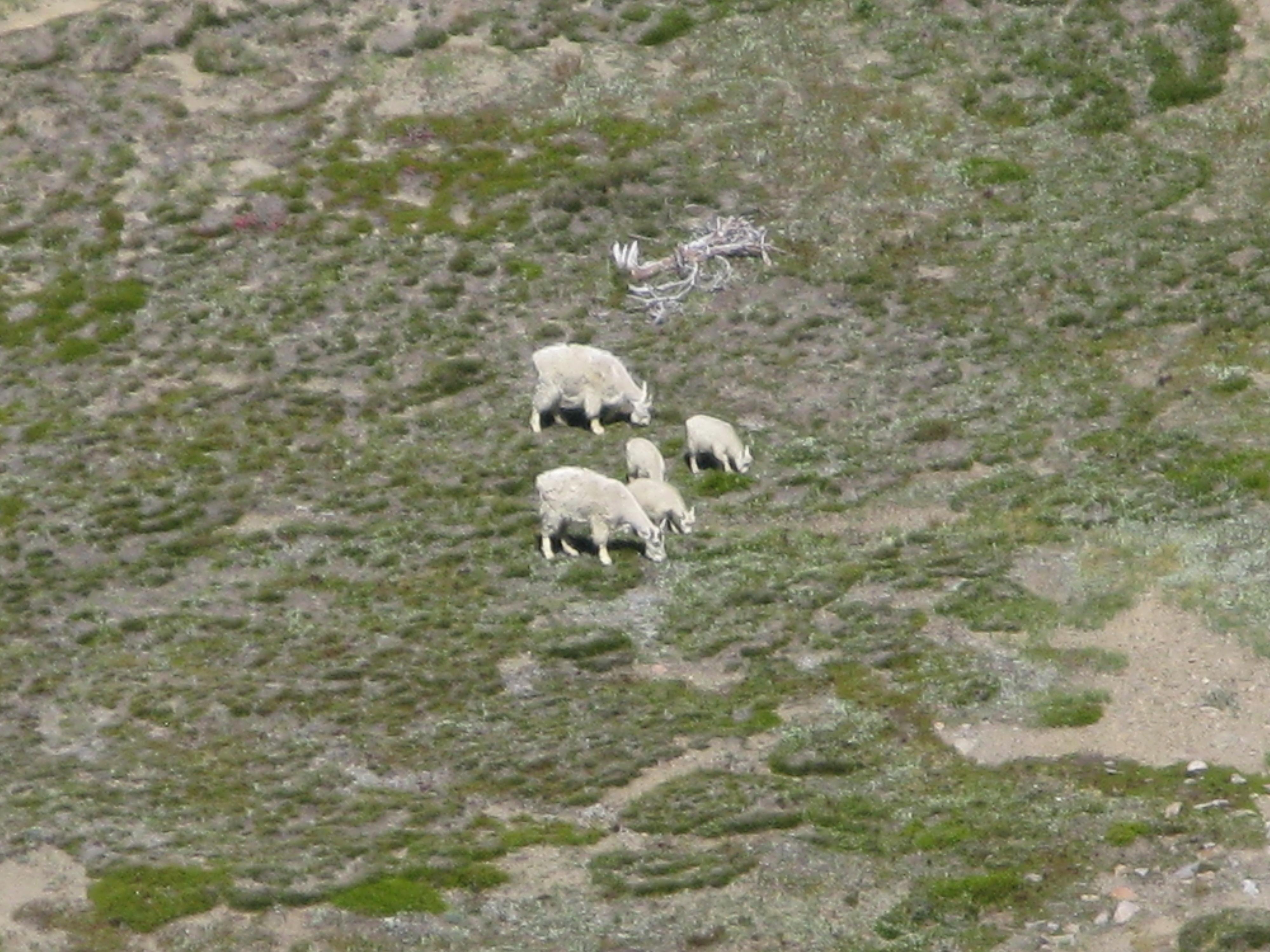Mountain goats relaxing in the open meadow!