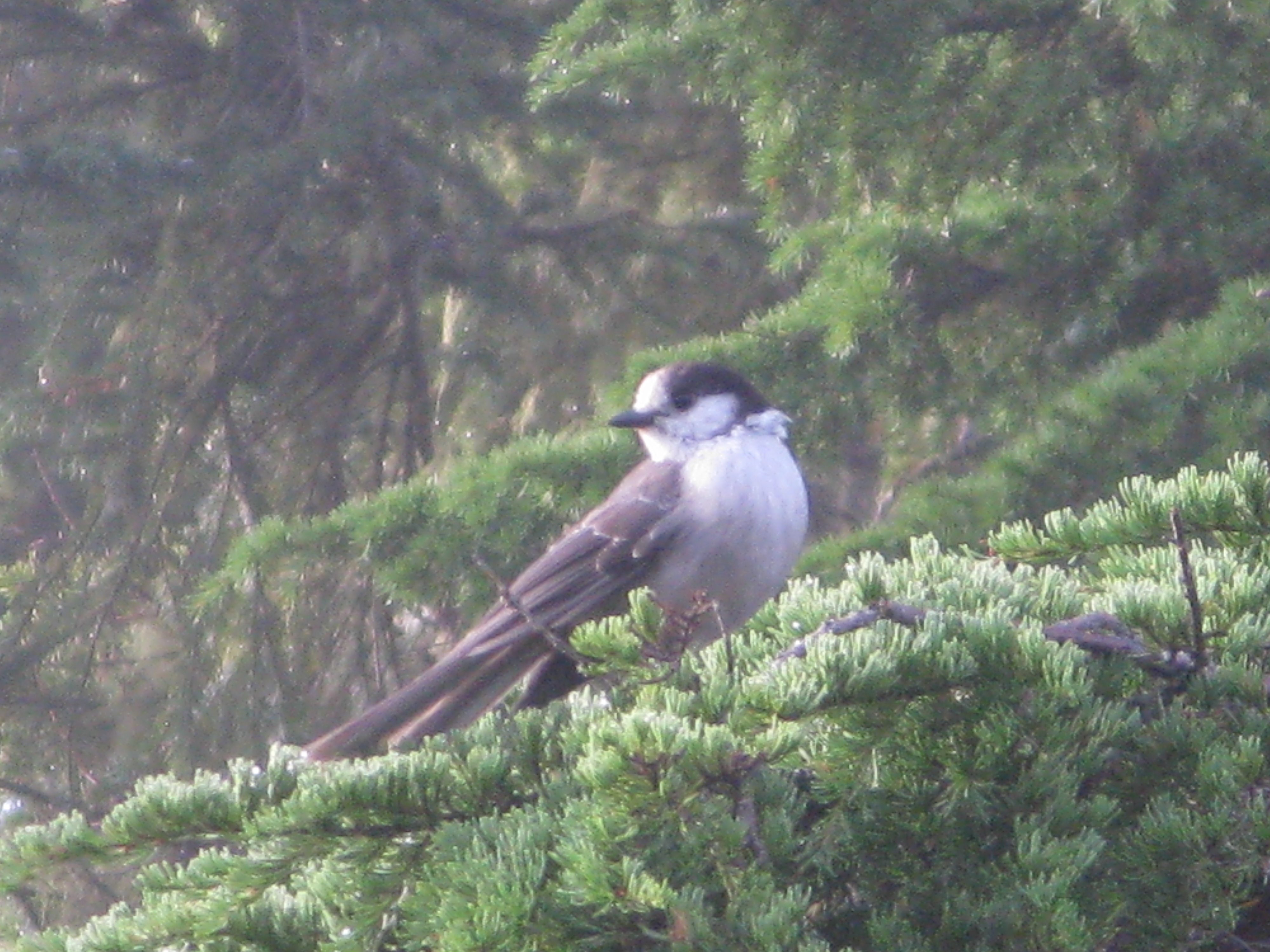 A gray jay planning hi jinx, shenanigans, and tomfoolery.
