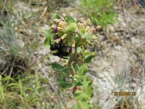 Bumblebee pollinating an Asclepias viridiflora.