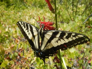 This swallowtail was pollinating cardinal lobelia (Lobelia cardinalis pseudospectabalis) in a wetland along the Whitewater River, August 28 2015