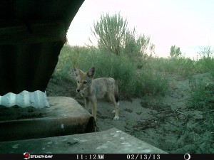 Game Camera Coyote