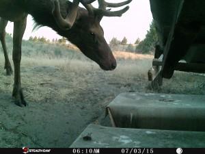 Game Camera Elk