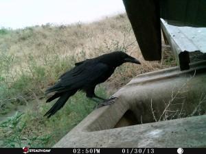 Game Camera Raven