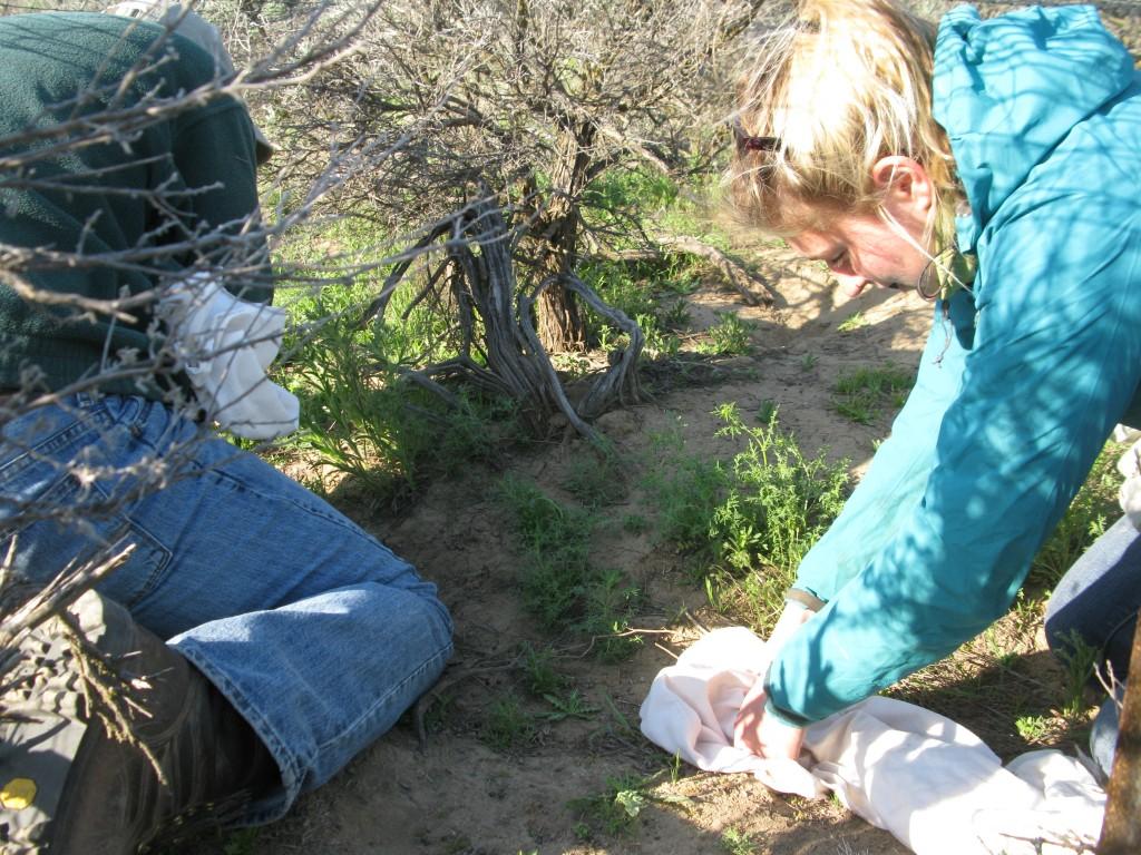 Jenny getting ready to capture a pygmy rabbit.