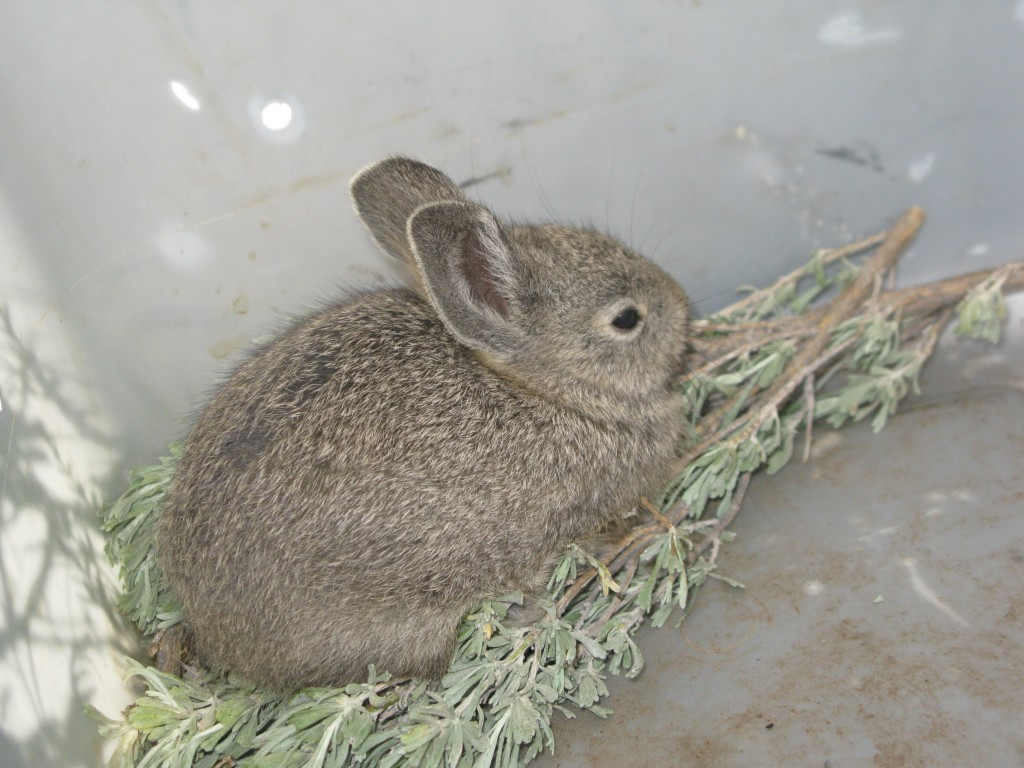 A captured pygmy rabbit eating and relaxing.