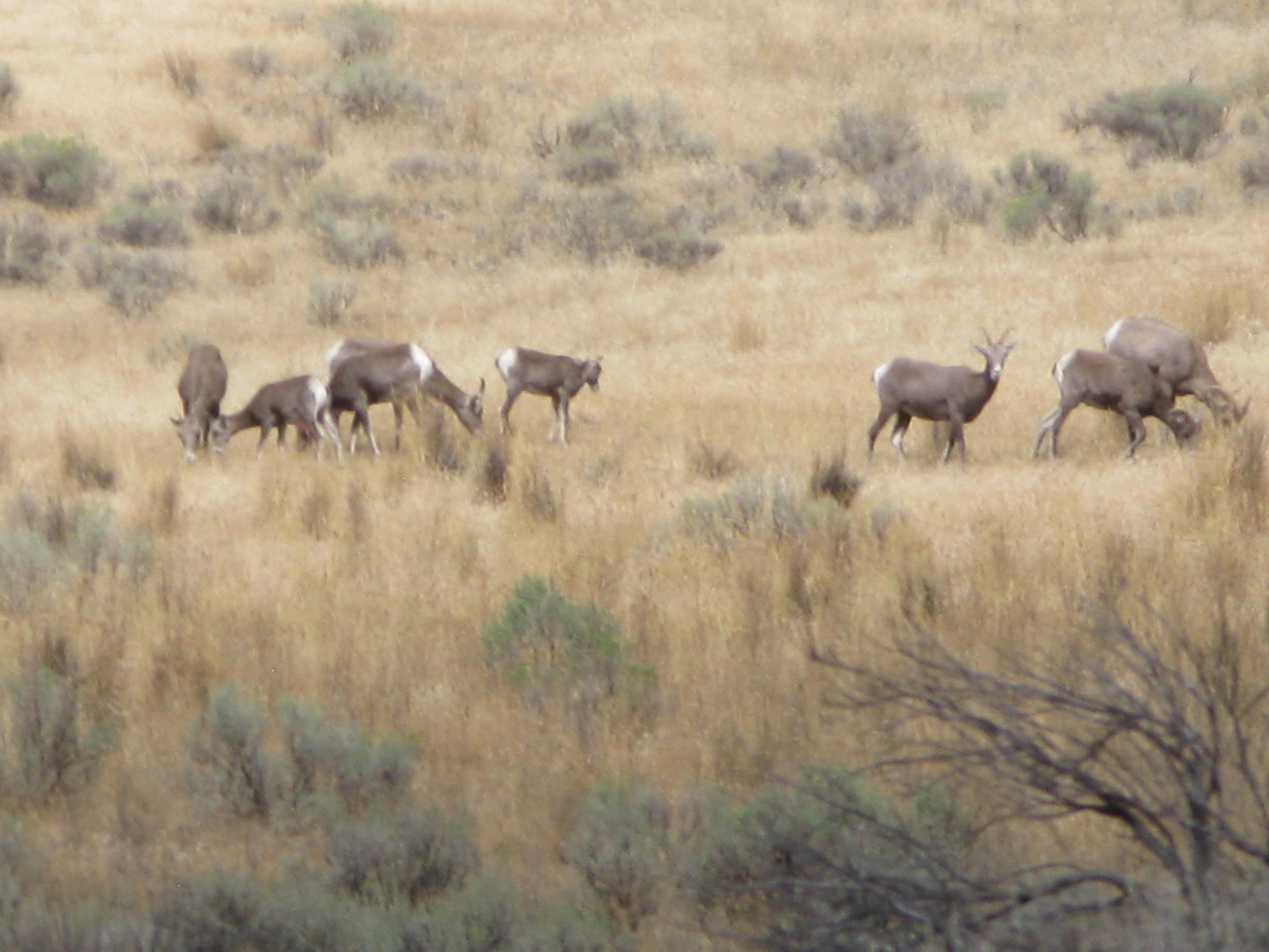 Bighorn sheep grazing!!