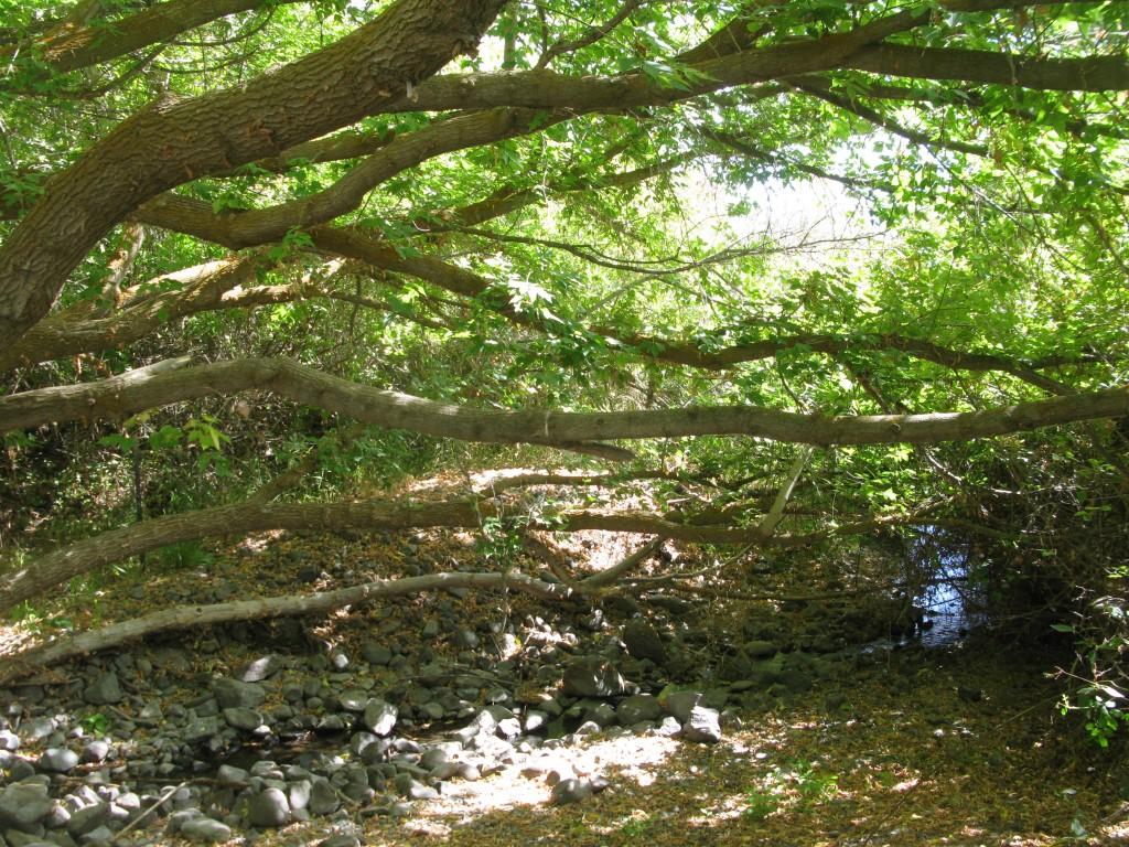 Acer negundo understory along the Yakima River.