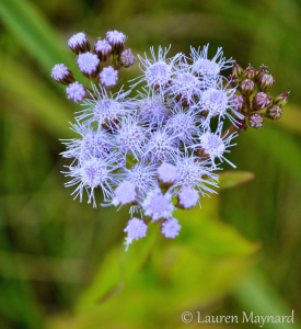 Blue mistflower, Conoclinium coelestinum, at Swanquarter National Wildlife Refuge, NC