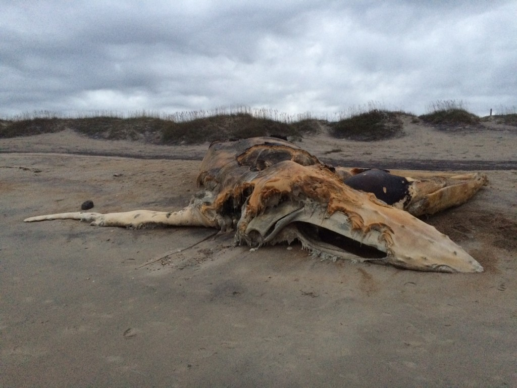 Whale corpse