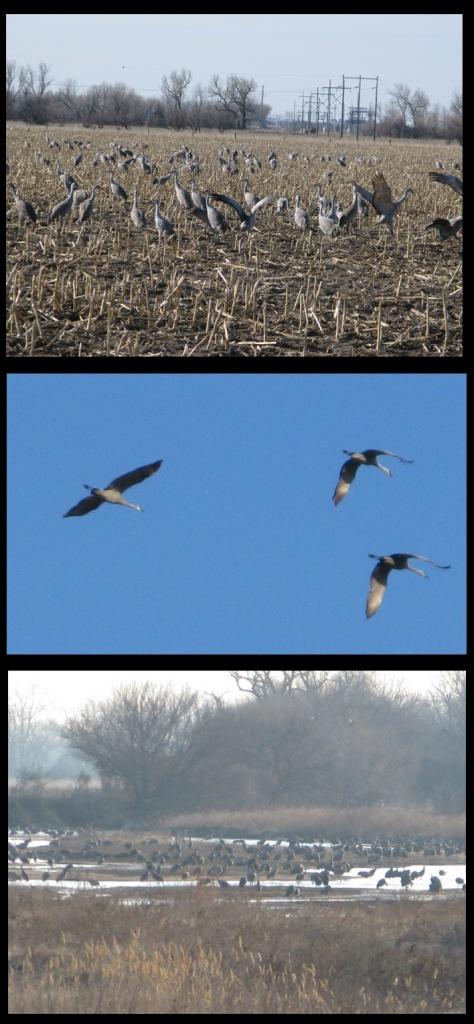 Sandhill cranes!!!
