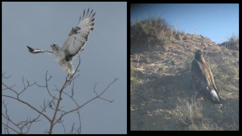 A red tailed hawk and a golden eagle that I have seen in the field!