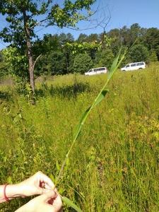 Identifying Poaceae! This is Dichanthelium scoparium.