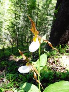 Cypripedium montanum