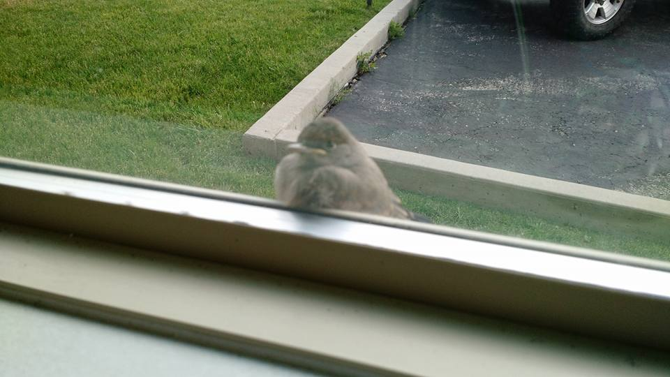 We got a visit to our window by a baby Say's phoebe. The little one sends its regards.