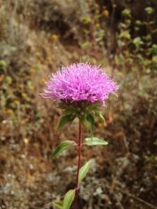 Monardella villosa var. villosa (Coyote mint)