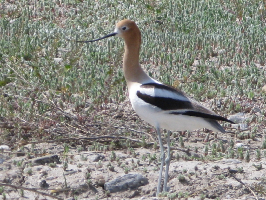 An American Avocet taking a break from finding food!