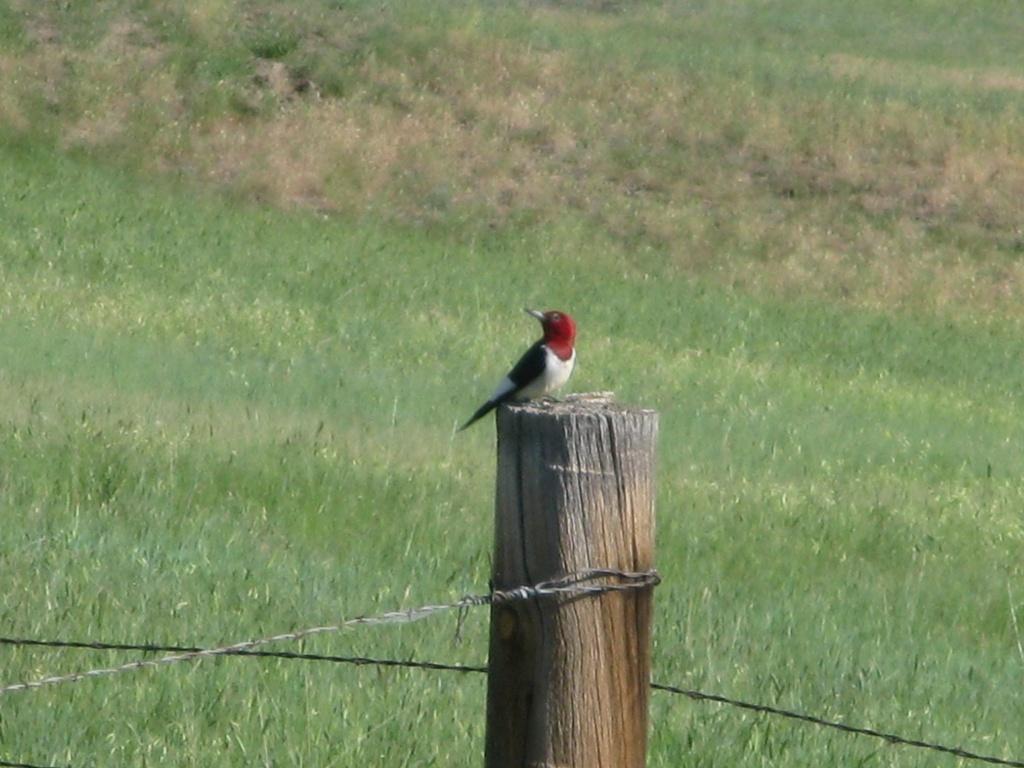 A wild red head headed woodpecker has appeared!!!
